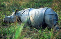 Rhinoceros in Kaziranga National Park, Assam, India